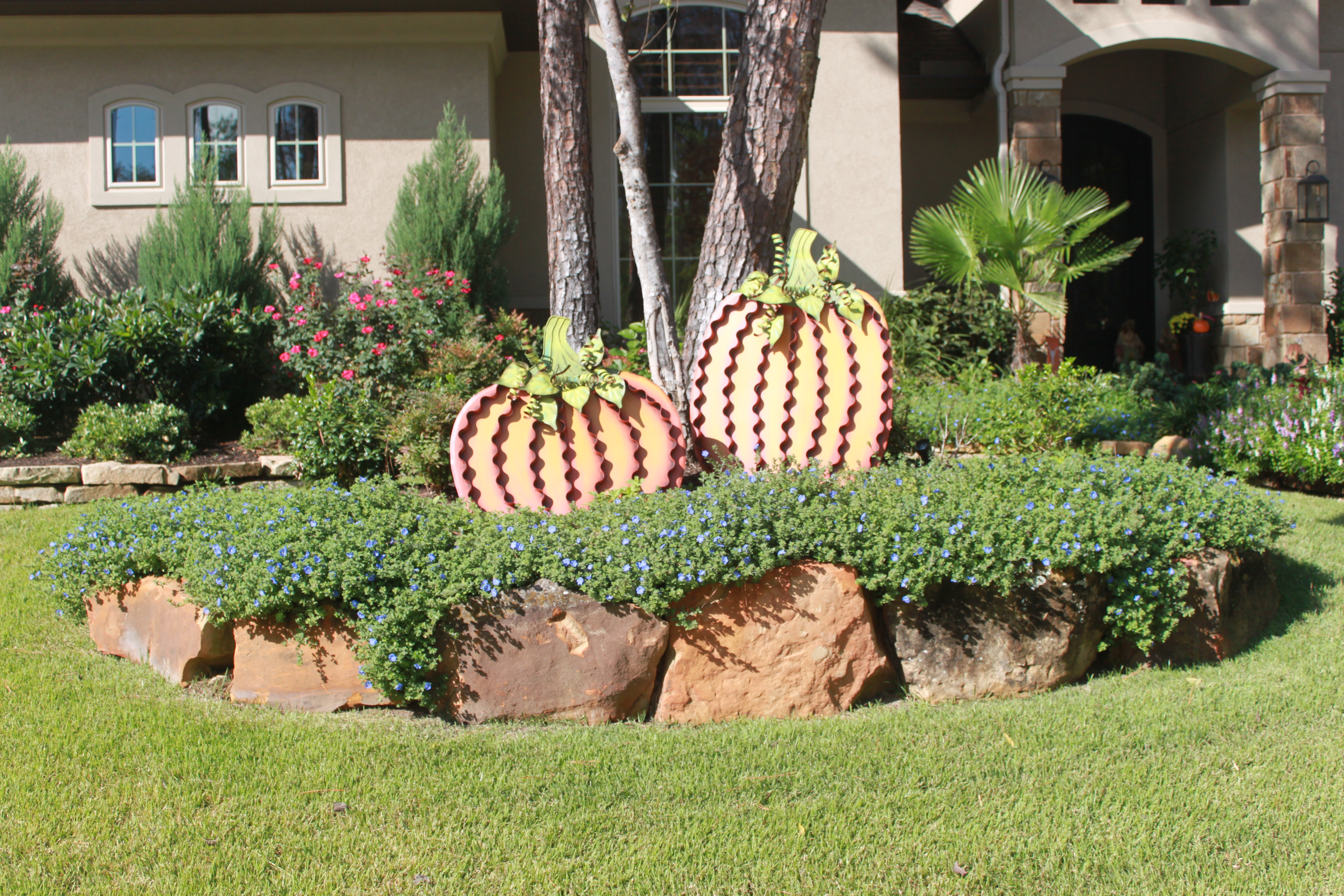 Blue Daze: An important spring flower commonly used in Texas lawn design